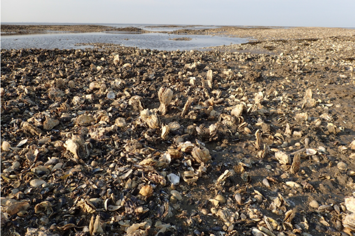 A blue mussel and Pacific oyster bed/reef after a storm. What remained was a mix of dead and alive oysters anchored upright in the sediment (Photo: Karin Troost).