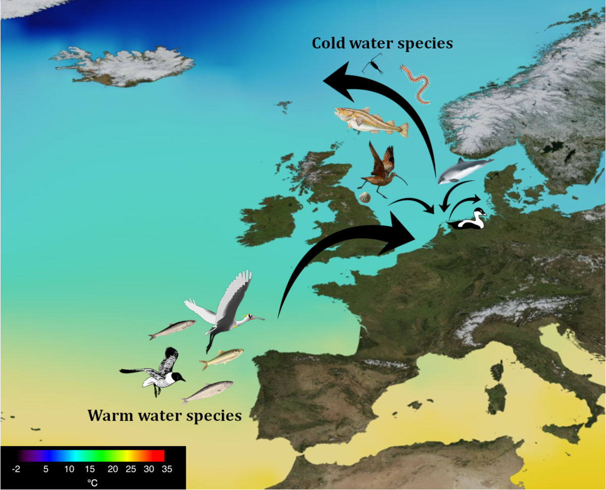 Sea surface temperature map shows a selection of warm-water species shifting northwards, whereas cold-water species retreat the Wadden Sea to keep up with the colder waters