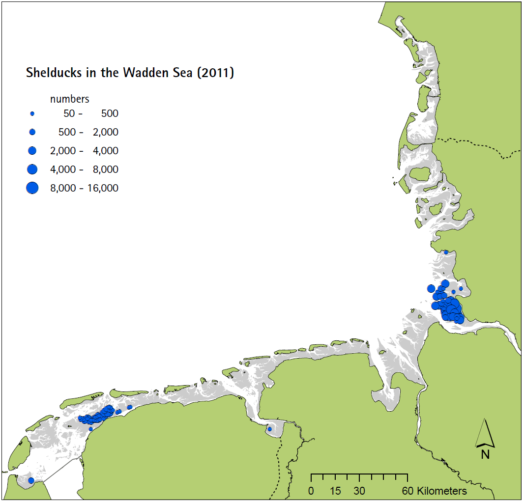 Distribution of moulting Shelduck in the Wadden Sea in 2011